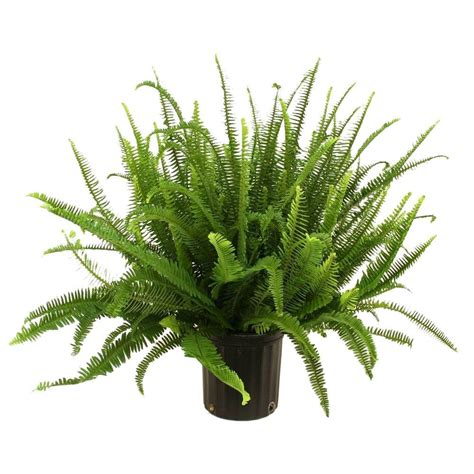 How To Decorate A Rental Home by Delray Plants Kimberly Queen Fern In 8 3 4 In Pot 10kim