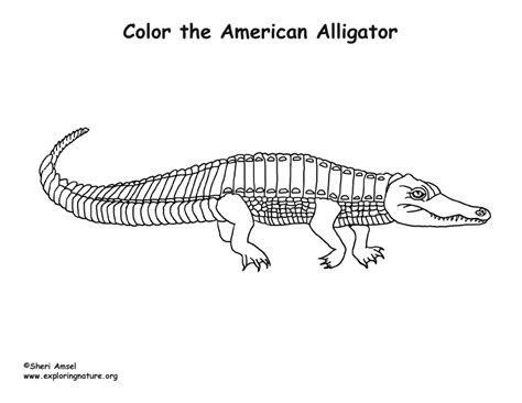 alligator coloring page pdf colouring pages alligator