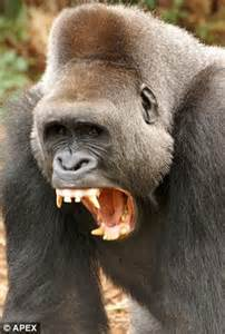 open wide see how a gorilla visits the dentist abc news paignton zoo s silverback gorilla is out for the count for