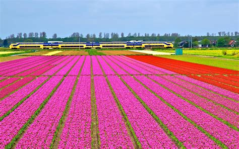 netherlands tulip fields sightseeing where and when is the best time to see the