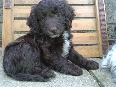 Springerdoodle Puppies In Newark Nottinghamshire