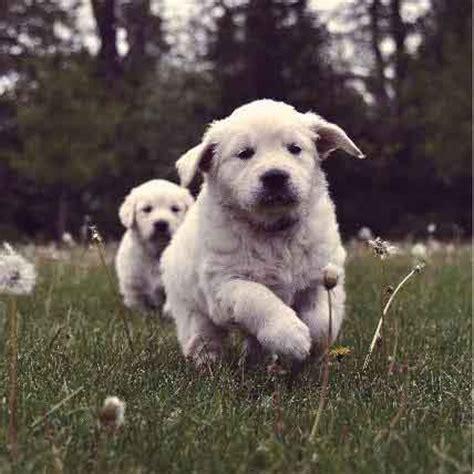 goldendoodle puppy hip dysplasia pharmacy nizoral