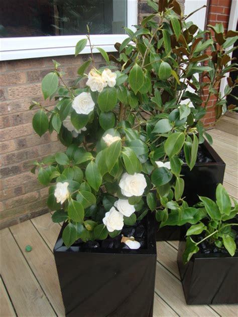 fao patricia  magnolia  pots grows