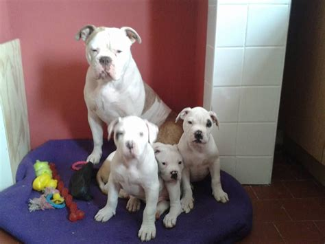 american bulldog puppies colorado classic american bulldog puppies derby derbyshire pets4homes