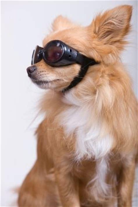 pomeranian cataracts chihuahuas cars and sunglasses on