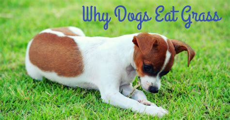 why dogs eat grass thedogtrainingsecret