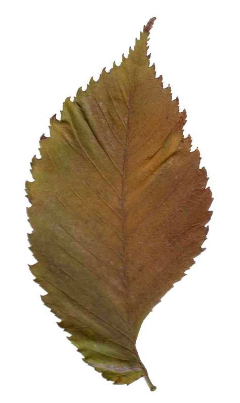 how to leave a file ulmus leave 20040126 part1 jpg wikimedia commons