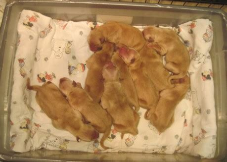 at what age are golden retrievers grown sonshine golden retrievers current litter