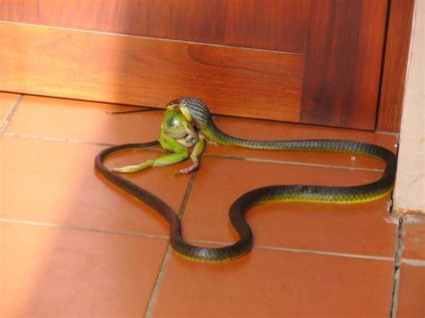 vs snake snake vs frog photo