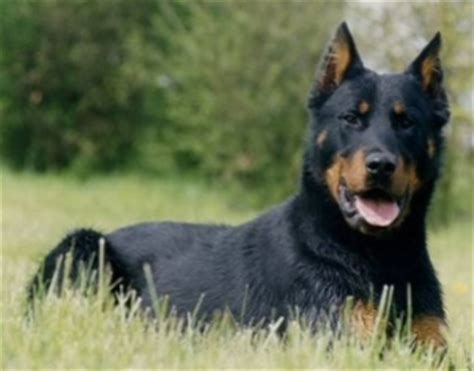 canis panther breed information and pictures on