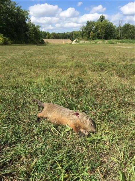 groundhog day australia groundhog taken with an ar15 shooting 223 ammo from