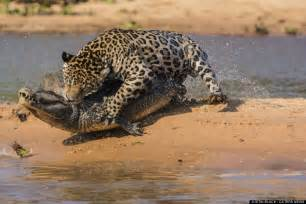 Jaguar Catching Caiman Jaguar Attacks Caiman In Brazil S Pantanal Wetlands