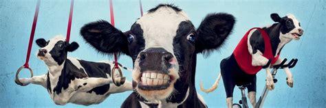 Fil A Cow Calendars Fil A Cow Calendars Arrive