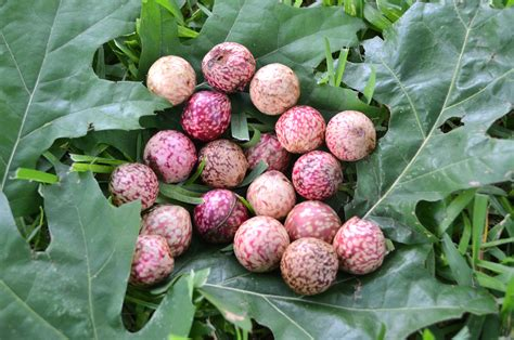 Oak Galls oak galls quot curiouser and curiouser quot arborilogical services inc