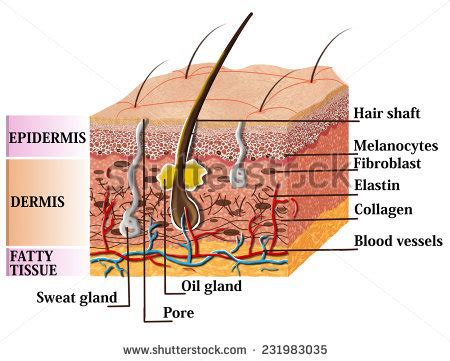 anatomy of human skin layer and arm stock vector 689023216 istock sweat gland stock images royalty free images vectors
