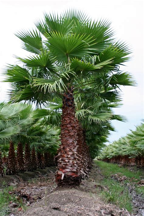 planting fan palm trees locate find wholesale plants plantant com