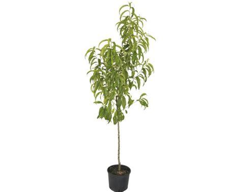Praxisräume Kaufen by Pfirsichbaum Kaufen Pfirsichbaum G Nstig Pflanzenversand
