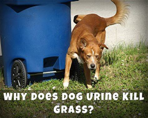 urine killing grass why does urine kill grass discoveries