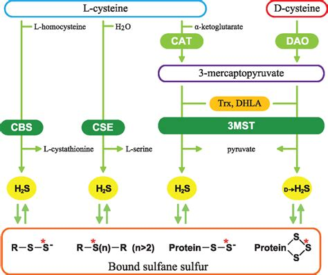 Hydrogen L by Frontiers Production Of Hydrogen Sulfide From D Cysteine