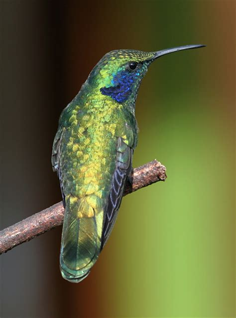 green violet ear hummingbirds colibri thalassinus the