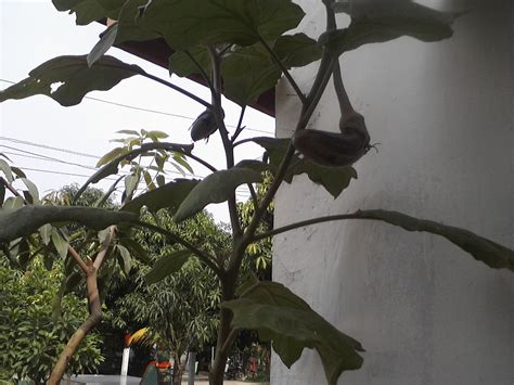 Bibit Terong Pm farming menanam terong ungu