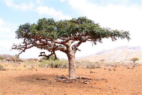 a lone boswellia tree from which frankincense is harvested