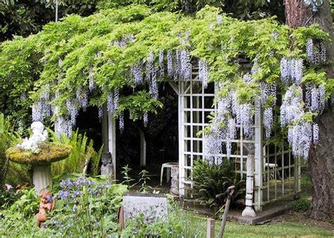 wisteria trellis the sunday gardener the war on wisteria