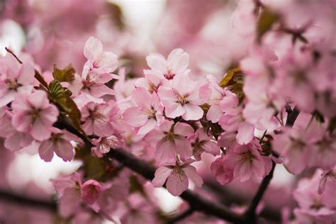 cherry blossom photos pink cherry blossoms 183 free stock photo