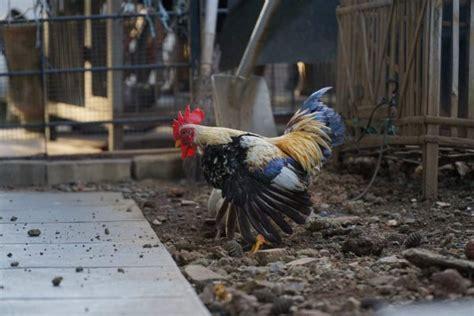 Jual Bibit Ayam Jawa Jogja jual ayam hias jakarta jogja bandung termurah di indonesia