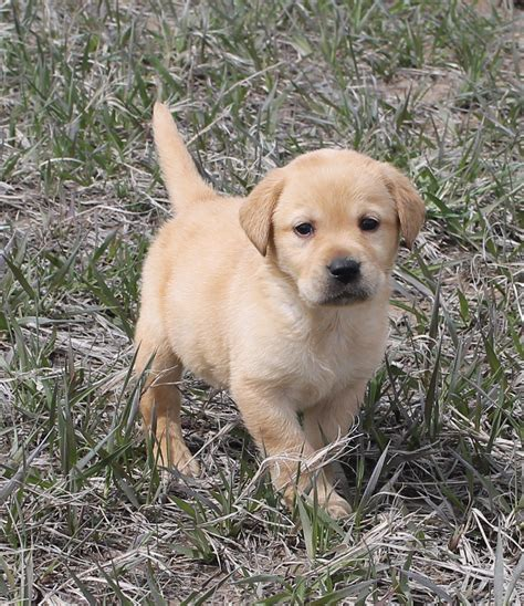 golden retriever breeders in colorado colorado s finest kennel and ranch golden retriever and lab breeders labrador