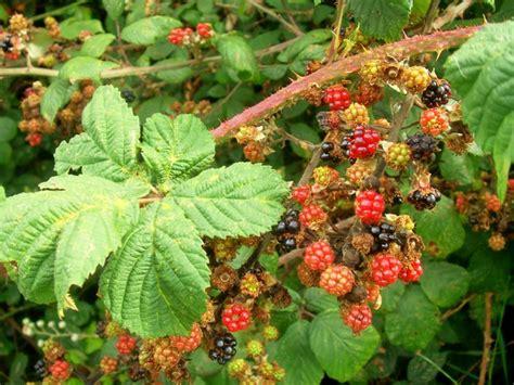 backyard berry plants garden plants with berries pdf