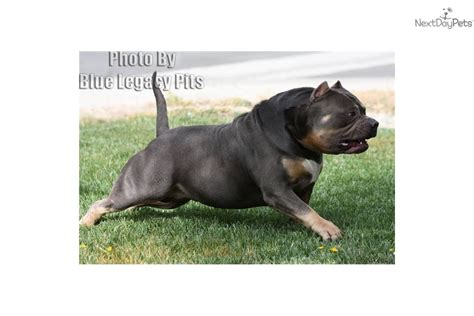 dogs 101 pitbull 101 breeds american pit bull terrier breeds picture