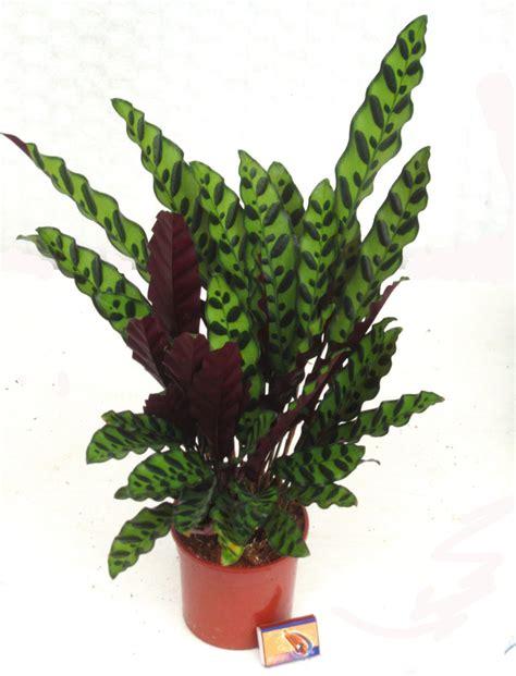 Zimmerpflanzen Die Direkte Sonne Vertragen by Calathea Insignis Luftreinigende Zimmerpflanzen Kaufen