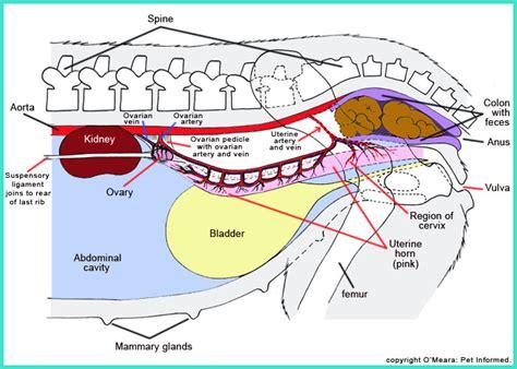 uterus bladder diagram anatomy image organs 10 illustrations images pictures