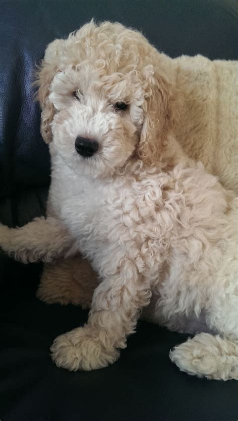 labradoodle puppy for sale f2b labradoodle puppy for sale liverpool merseyside pets4homes