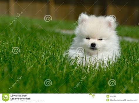 white pomeranian puppies for free white pomeranian puppy on lawn stock image image 9524119
