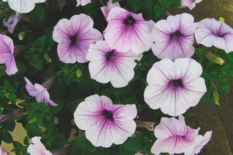fiore petunia fiore spontaneo petunia forum giardinaggio