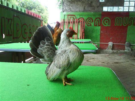 Anakan Ayam Serama serama joko