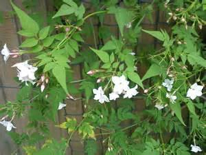 Jasmine Fragrant Flowers - jasminum officinale in full bloom gardener s word