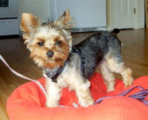 how to fatten up a yorkie chicklet s web page
