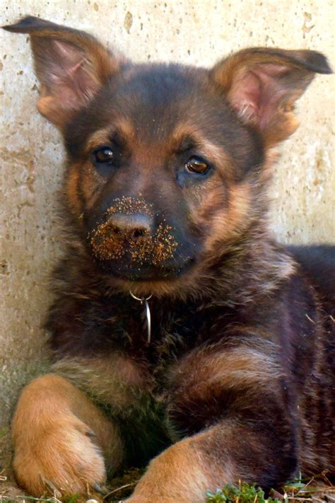 how to a german shepherd like a 3784 best images about german shepherds on beautiful dogs best dogs and