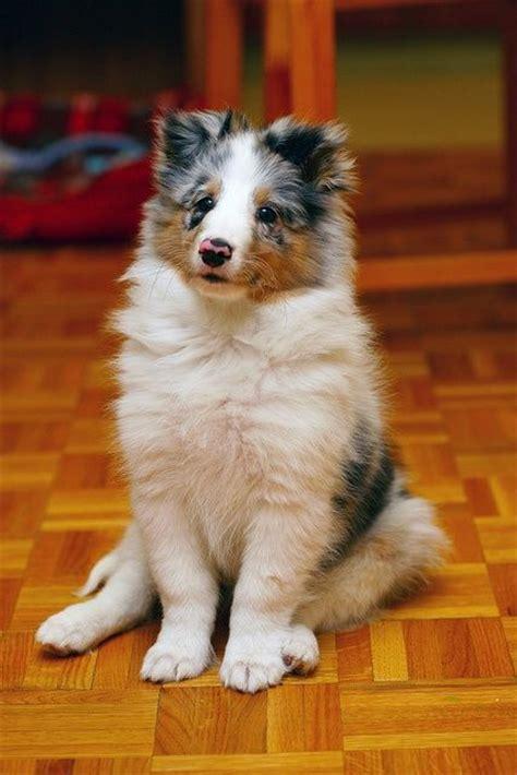 blue merle sheltie puppies blue merle sheltie pup dogs