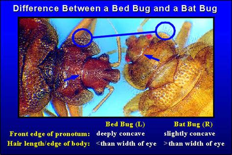 What Is The Difference Between A And Bed by Bed Bugs And Bat Bugs Bedbatbg Department Of