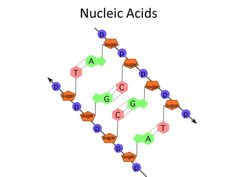 protein nucleic acid nucleic acids ppt