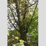 Eastern Redbud Leaves | 2336 x 3504 jpeg 5497kB