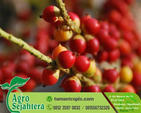 Jual Pohon Daun Afrika Selatan Bibit Daun Afrika jual bibit pinang merah jualbibittanamanpohon id