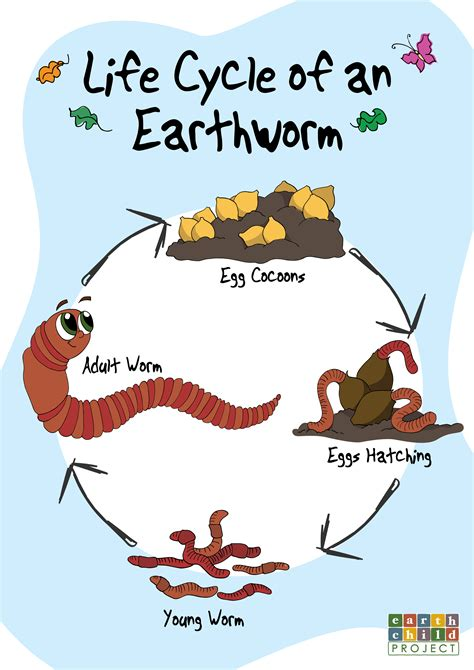 earthworm cycle diagram cycle of an earthworm aol image search results