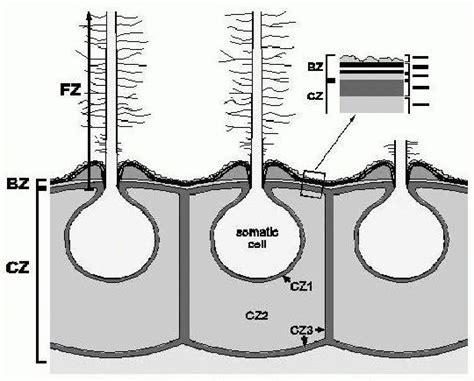induktor biochemie nwf iii universit 228 t regensburg zoologie