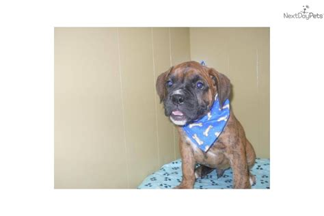 boxer puppies for sale in nj meet buddy a boxer puppy for sale for 683 boxer nj tristate area buddy