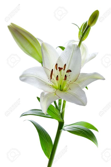 White Lilies best 25 white flower ideas on white